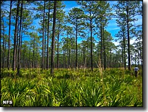 A view in Osceola National Forest