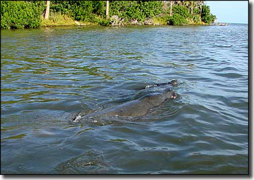 Manatees swimming in Mosquito Lagoon