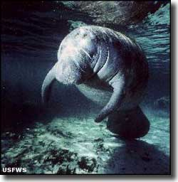 Manatee at Crystal River National Wildlife Refuge