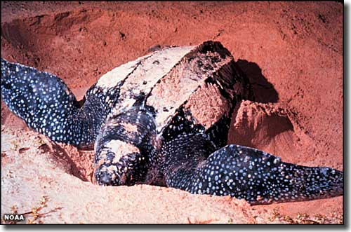 Leatherback turtle at Archie Carr National Wildlife Refuge
