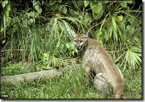 A Florida panther in the wild at the Florida Panther National Wildlife Refuge