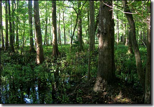 Typical scene in a Florida forest