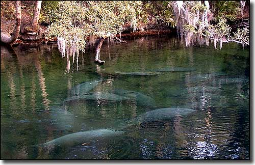 Manatees in the St. Johns River