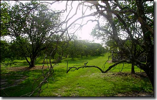 Citrus grove in Hardee County, Florida