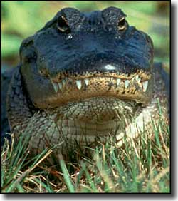 A typical Florida alligator