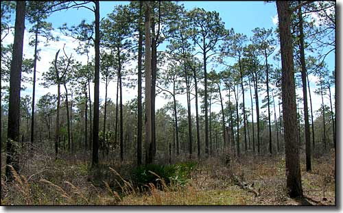 Typical Florida forest land