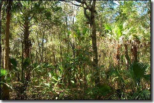 Forest on Lake George State Forest Florida