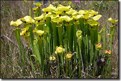 Pitcher plants in Tates Hell State Forest
