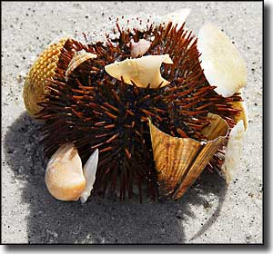 A sea urchin with shells at Cayo Costa State Park