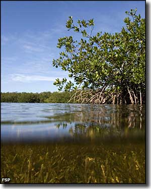 Red mangroves above, sea grass below