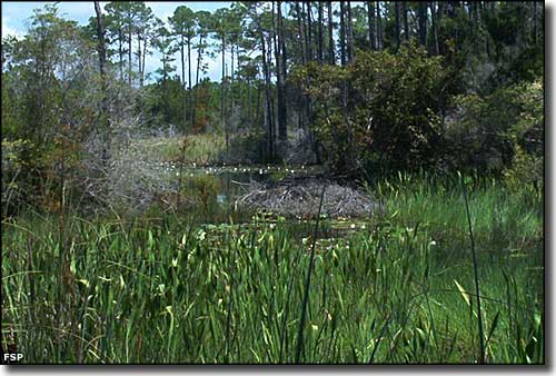 A beaver dam in the wetlands area of the pine flatwoods