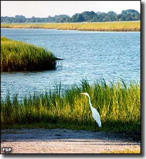 A great white heron at Fort George Island Cultural State Park
