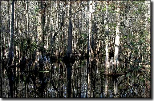 The cypress swamp at Highlands Hammock State Park