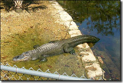 An American alligator sleeping the day away at Homosassa Springs Wildlife State Park