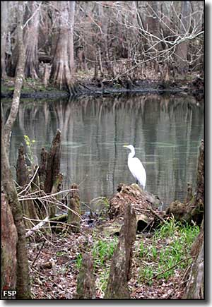 An egret next to the spring run