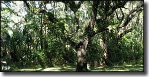 Live oaks at Paynes Creek Historic State Park