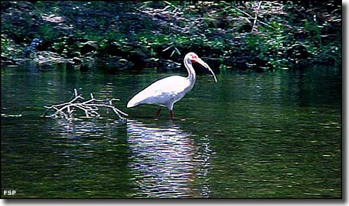 A white ibis in Paynes Creek, Paynes Creek Historic State Park