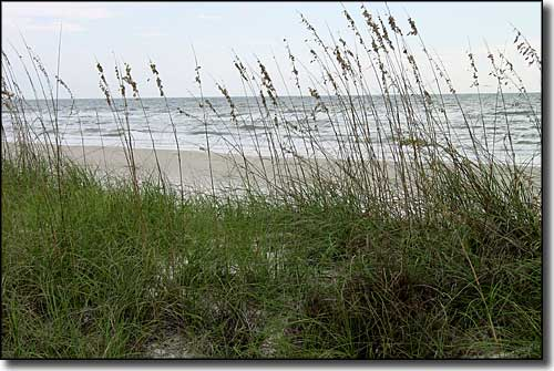 Sea oats along the dunes at Dr. Julian G. Bruce St. George Island State Park