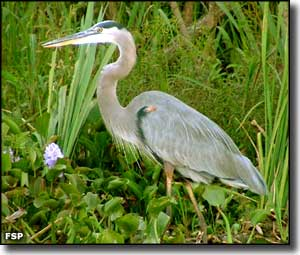 Blue heron at Three Rivers State Park