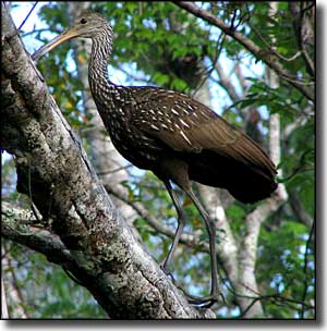 A limpkin in a tree at Wekiwa Springs State Park