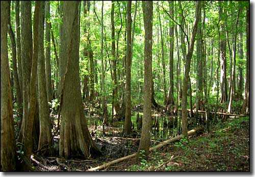 Cypress swamp in the Big Gum Cypress Wilderness